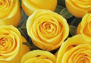 3.7.2021 Yellow Rose